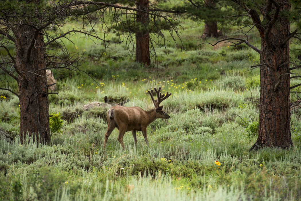 Male mule deer in Rocky Mountain National Park. GreatDistances / Matt Wicks