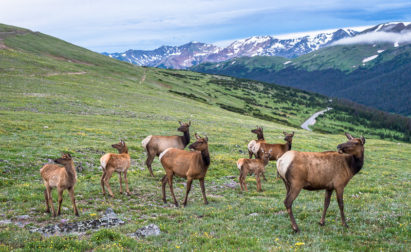 Gang of Elk atop the Continental Divide, Never Summer mountains to rear. Rocky Mountain National Park, Colorado. GreatDistances / Matt Wicks