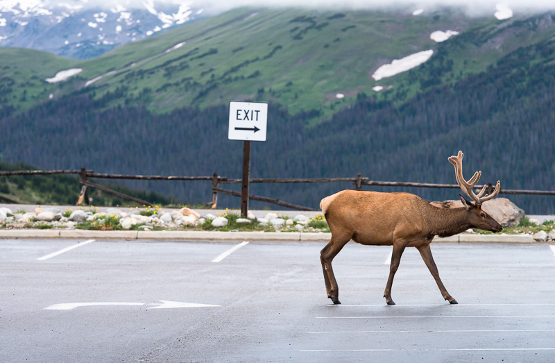 Elk Exit. Rocky Mountain National Park, Colorado. GreatDistances / Matt Wicks