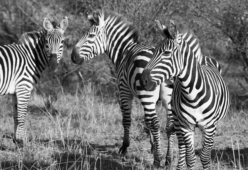 three Burchells zebras in Maasai Mara National Reserve. GreatDistances / Matt Wicks