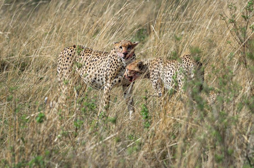 two cheetahs with a fresh kill. Maasai Mara. GreatDistances / Matt Wicks