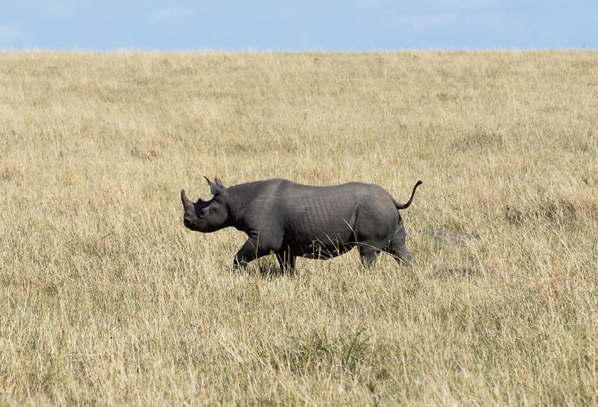 Young black rhino wanders through a field. Maasai Mara. GreatDistances / Matt Wicks