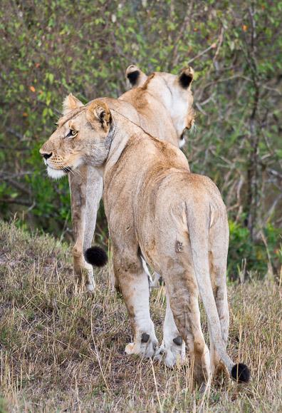 Two lionesses stalking prey as a team. Maasai Mara. GreatDistances / Matt Wicks