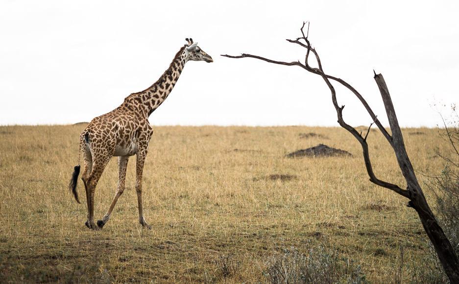Maasai giraffe and tree. Maasai Mara. GreatDistances / Matt Wicks