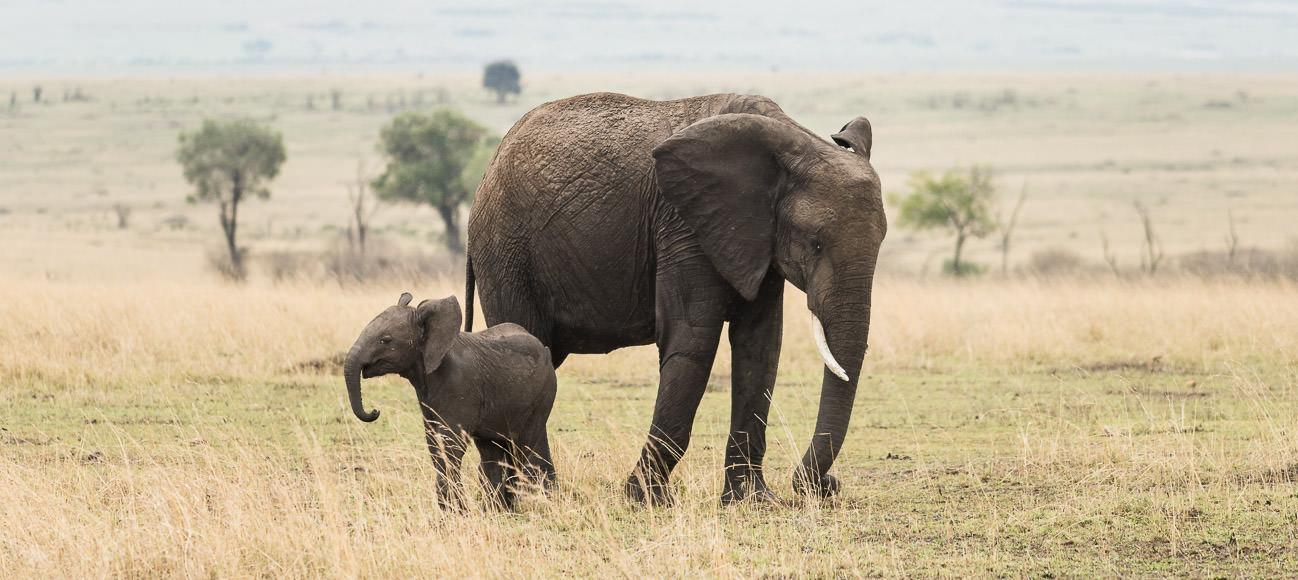 baby and adult elephant. Safari photography in Maasai Mara. GreatDistances / Matt Wicks