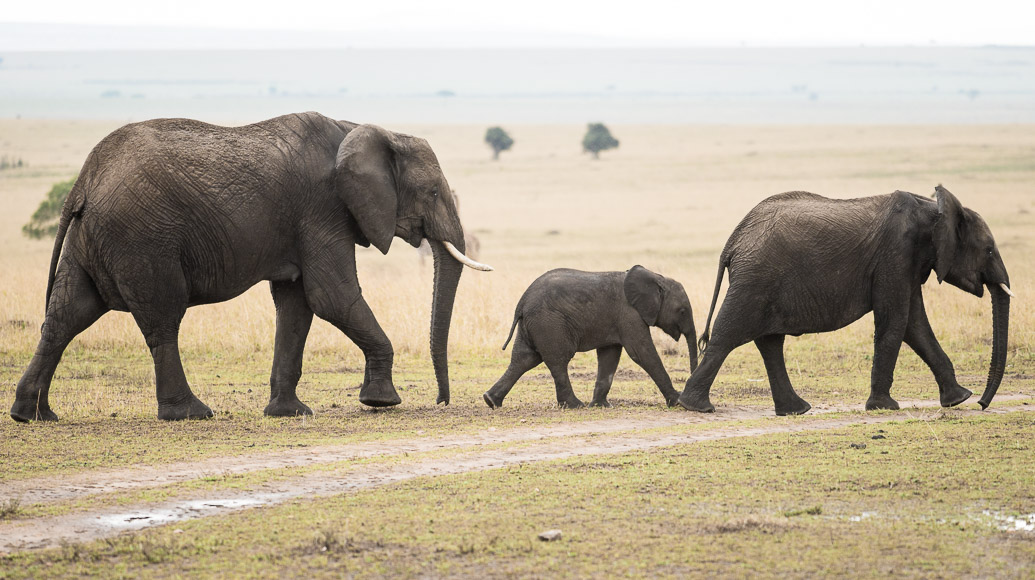 small family of elephants in Maasai Mara. GreatDistances / Matt Wicks