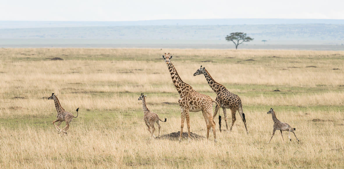 Young Maasai giraffes at play, learning to use their long legs. GreatDistances / Matt Wicks