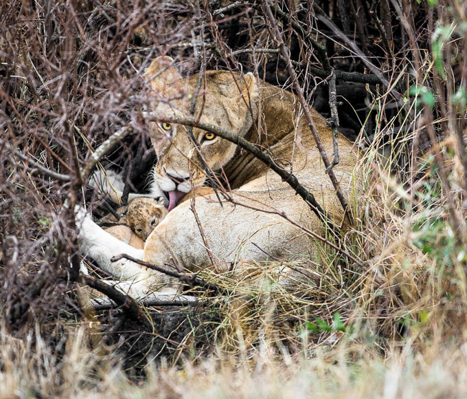 Lioness cares for a lion cub deep in a thicket. GreatDistances / Matt Wicks