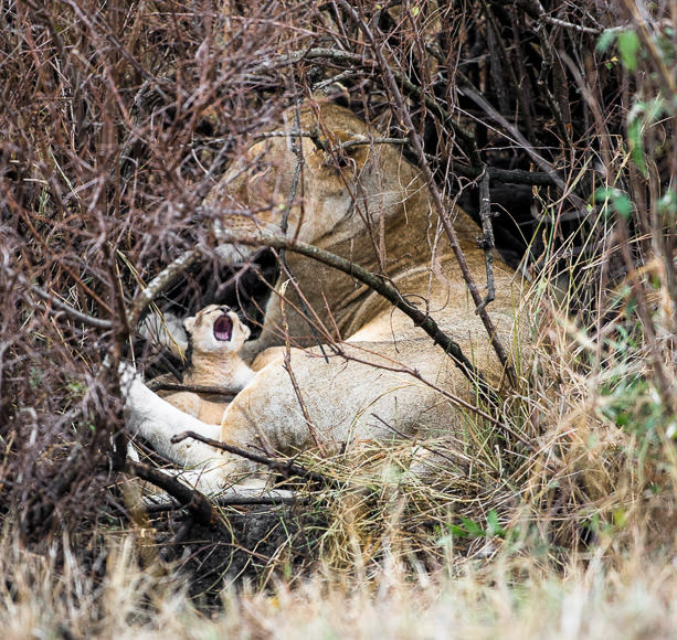 Yawning lion cub with lioness, hiding in a thicket in Maasai Mara. GreatDistances / Matt Wicks