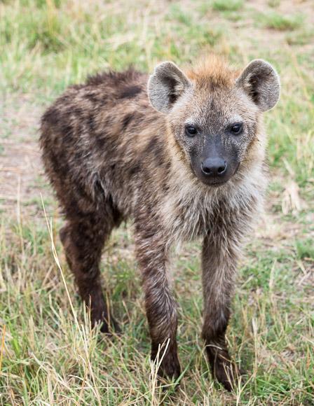 A curious spotted hyena approaches our jeep. Maasai Mara. GreatDistances / Matt Wicks