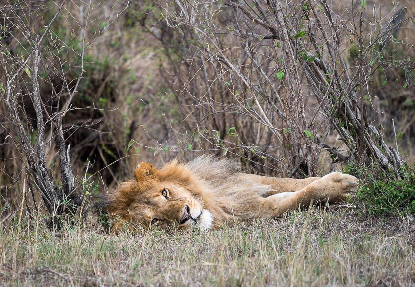 Lazy lion prepares for a nap. Maasai Mara. GreatDistances / Matt Wicks