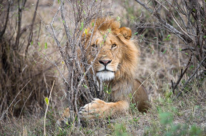 Male lion in the bush. Safari photography in Maasai Mara. GreatDistances / Matt Wicks