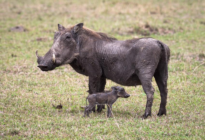 Warthog and mini-warthog. Maasai Mara, Kenya. GreatDistances / Matt Wicks
