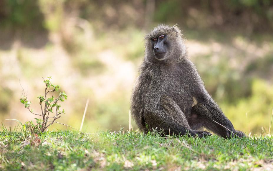 Baboon in Maasai Mara. GreatDistances / Matt Wicks