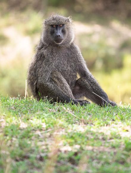Baboon. Maasai Mara. GreatDistances / Matt Wicks