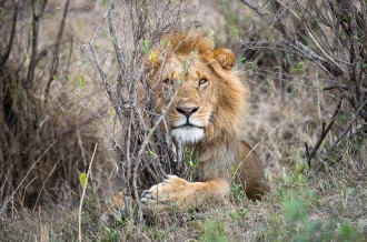 Male lion in the bush. Maasai Mara. Featured image: My First Shot at Safari Photography in Maasai Mara. GreatDistances / Matt Wicks