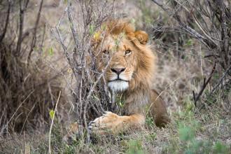 Male lion in the bush. Maasai Mara. Featured image: My First Shot at Safari Photography in Maasai Mara. GreatDistances / Matt Wicks