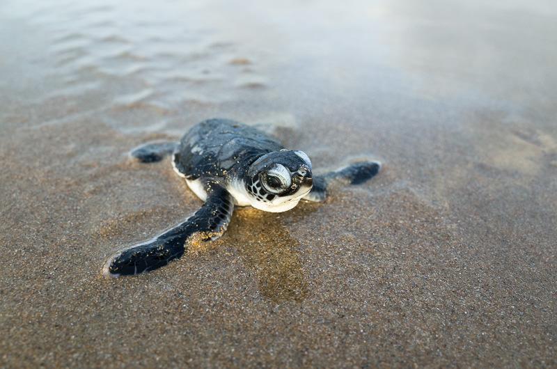 Fresh born green sea turtle.  GreatDistances / Matt Wicks