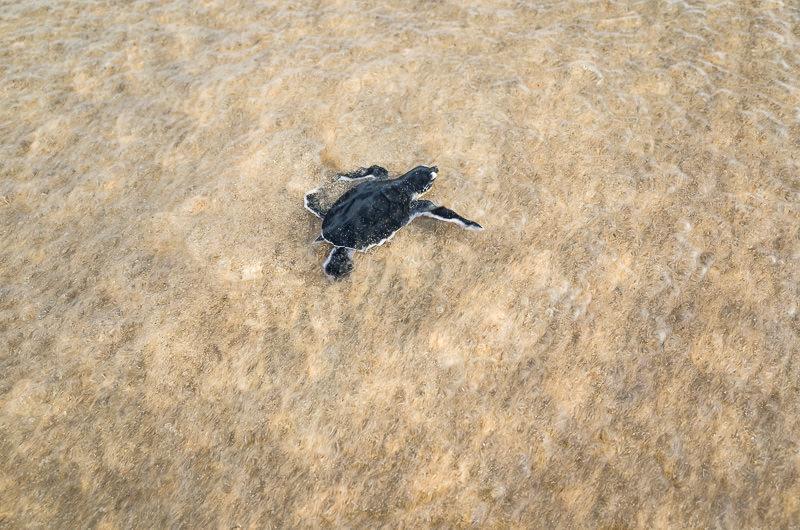 green sea turtle's first time in the water.  GreatDistances / Matt Wicks