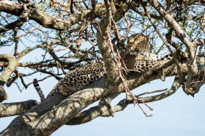 One Month in Kenya - leopard in a tree, Maasai Mara - GreatDistances / Matt Wicks