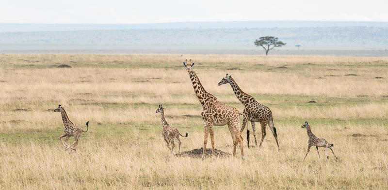 Young Maasai giraffes in Maasai Mara National Reserve, Kenya. One Month in Kenya - GreatDistances / Matt Wicks
