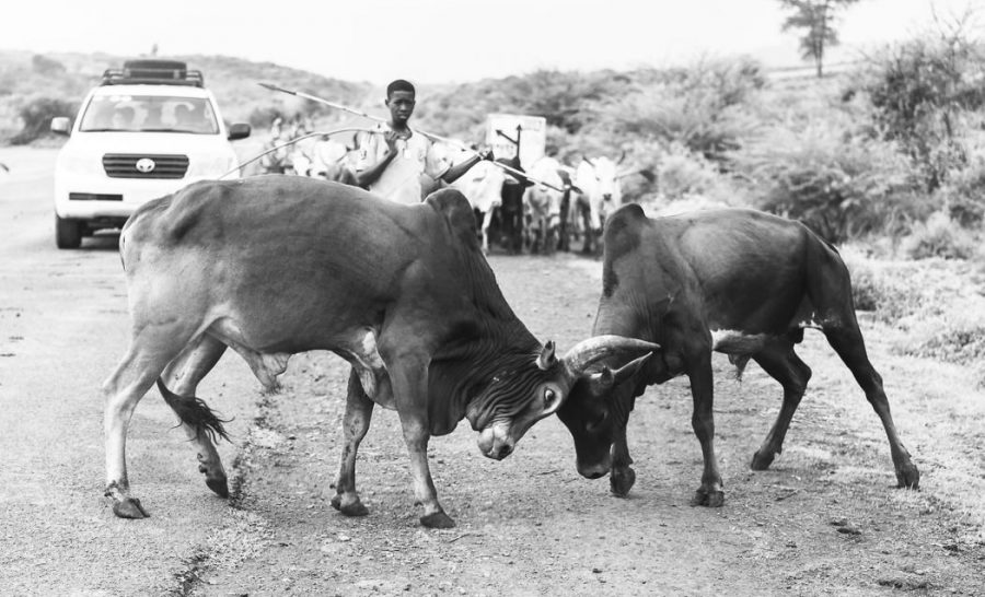 Cows fighting in the road near Arba Minch. South Omo Part 2 - Bull Jumping - GreatDistances / Matt Wicks